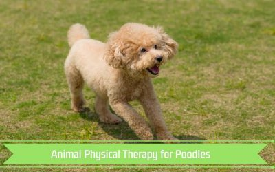 Animal Physical Therapy for Poodles