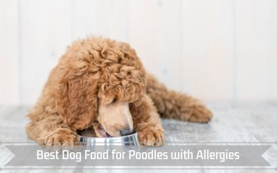 Best Dog Food for Poodles with Allergies