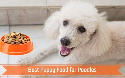 Best Puppy Food for Poodles