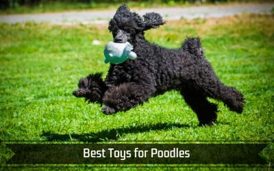 Best Toys for Poodles