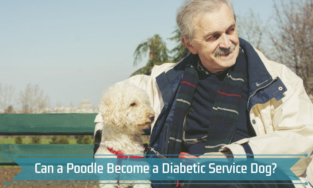 Can a Poodle Become a Diabetic Service Dog