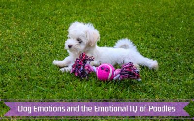 Dog Emotions and the Emotional IQ of Poodles