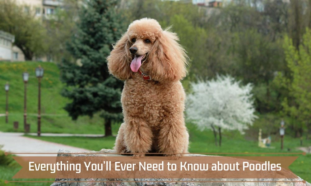 Everything You'll Ever Need to Know about Poodles