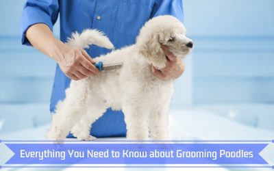 Everything You Need to Know about Grooming Poodles