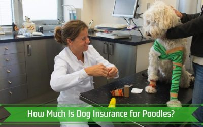 How Much Is Dog Insurance for Poodles?