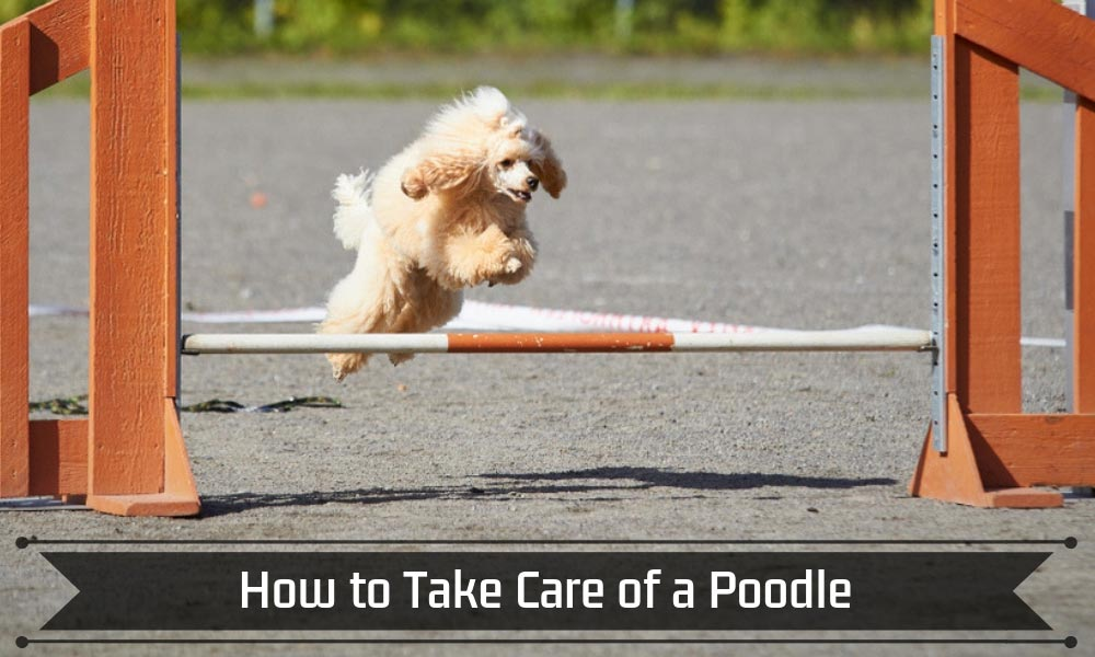 How to Take Care of a Poodle