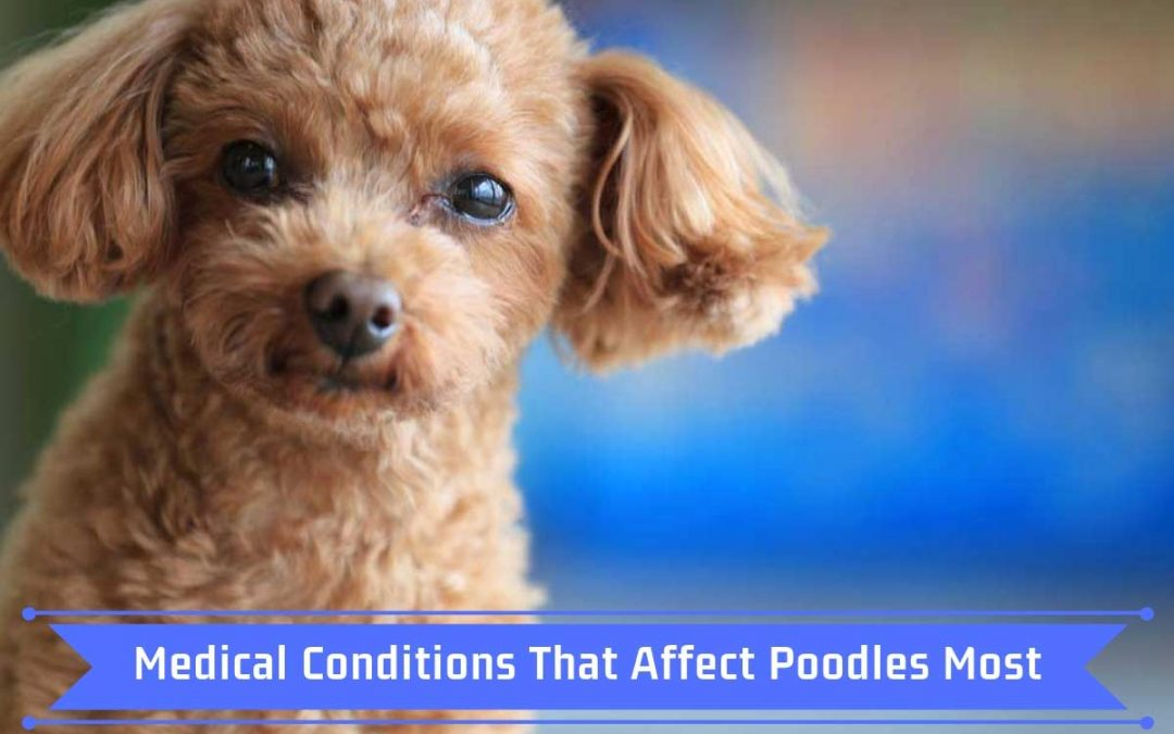 Medical Conditions That Affect Poodles Most
