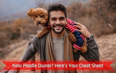 New Poodle Owner? Here's Your Cheat Sheet