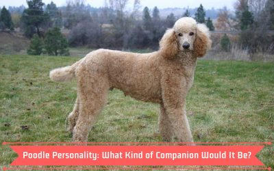 Poodle Personality: What Kind of Companion Would It Be?