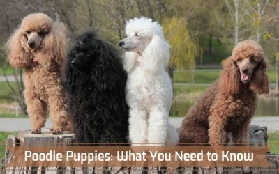 Poodle Puppies: What You Need to Know