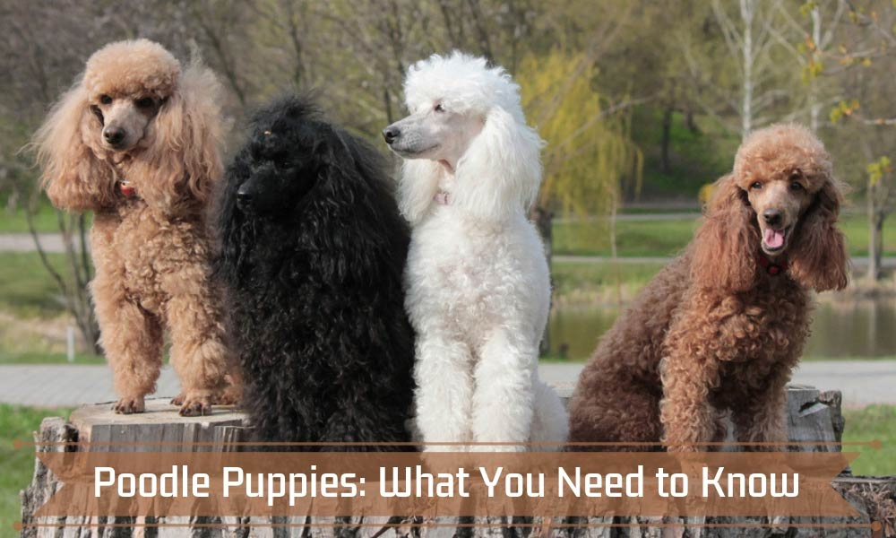 Poodle Puppies What You Need to Know