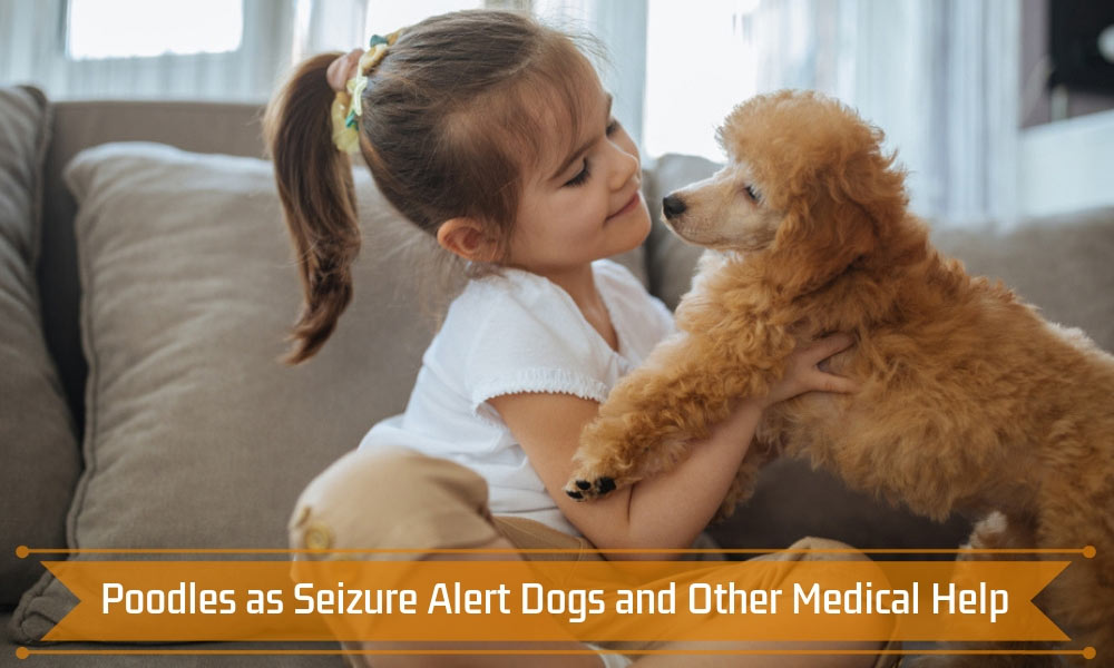 Poodles as Seizure Alert Dogs and Other Medical Help