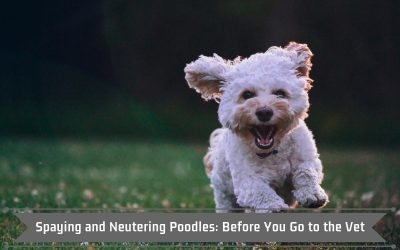 Spaying and Neutering Poodles: Before You Go to the Vet