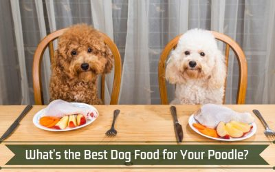What's the Best Dog Food for Your Poodle?
