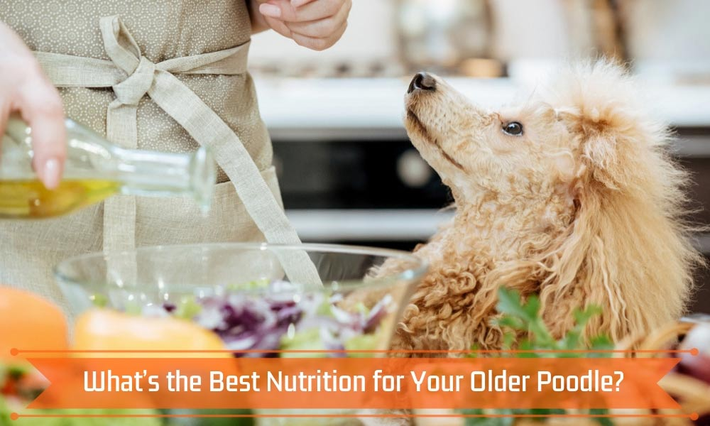 What's the Best Nutrition for Your Older Poodle?