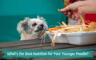 What's the Best Nutrition for Your Younger Poodle?