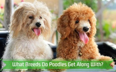 What Breeds Do Poodles Get Along With?