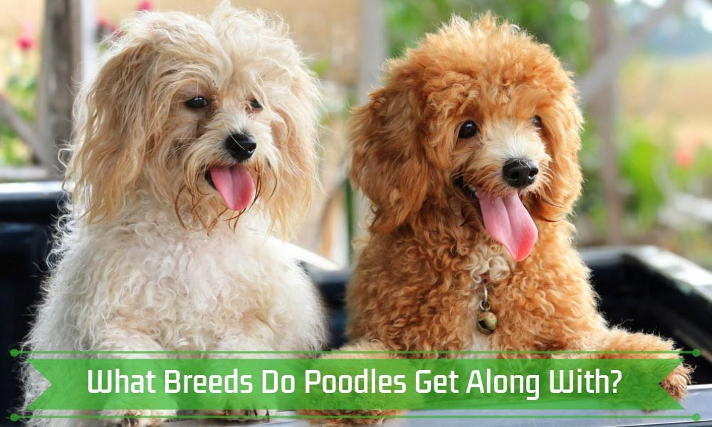 What Breeds Do Poodles Get Along With