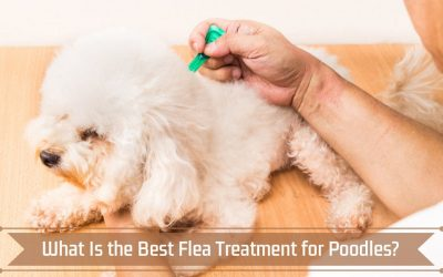 What is the Best Flea Treatment for Poodles?