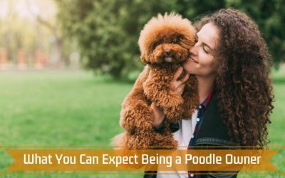 What You Can Expect Being a Poodle Owner