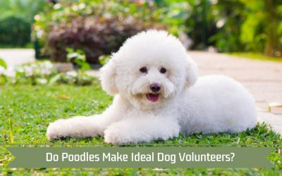 Do Poodles Make Ideal Dog Volunteers?