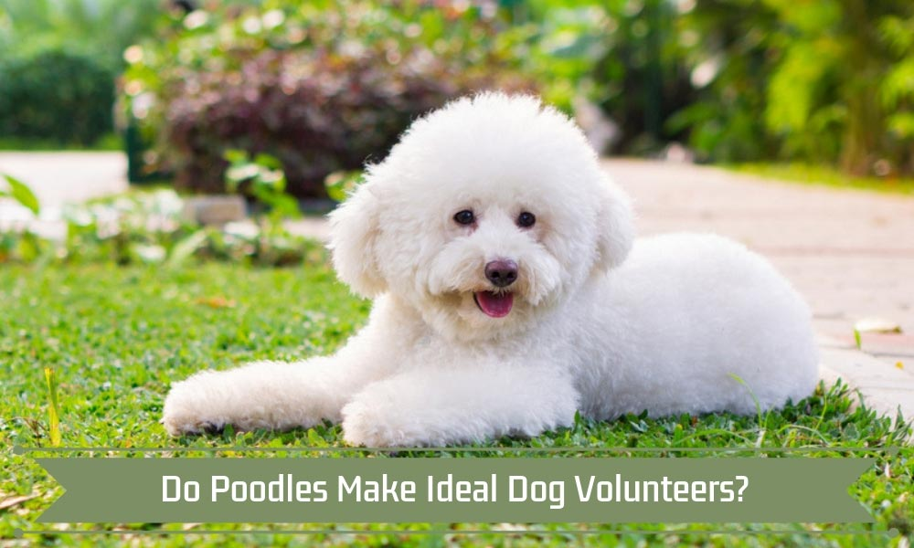 Do Poodles Make Ideal Dog Volunteers