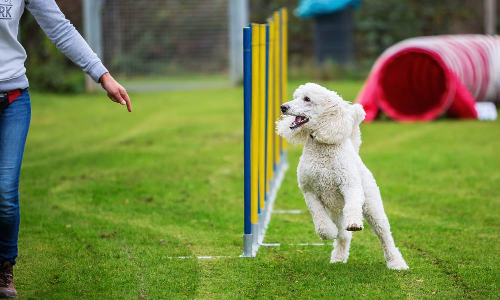 Exercise and Training for Your Poodle