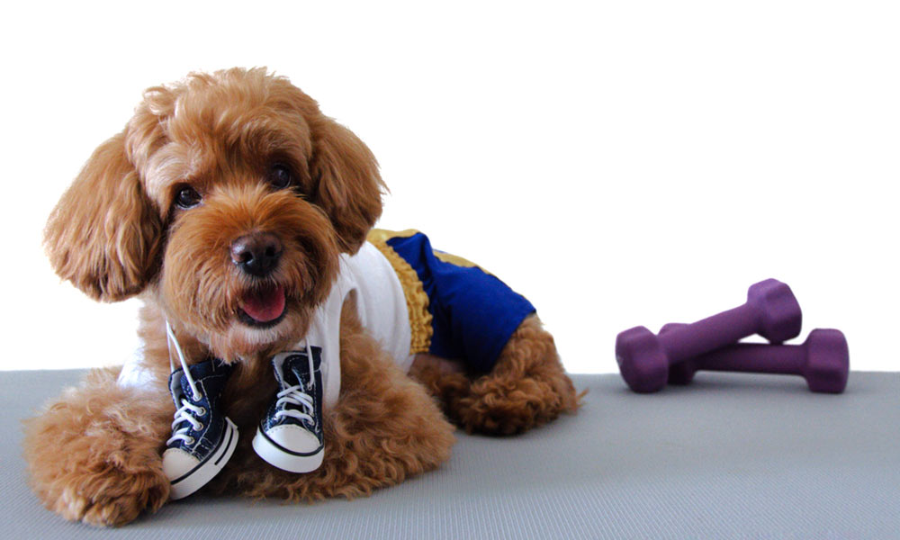 Exercise to Keep Your Poodle Healthy
