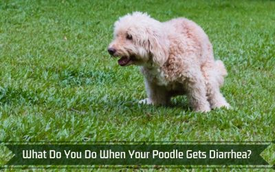 What Do You Do When Your Poodle Gets Diarrhea?