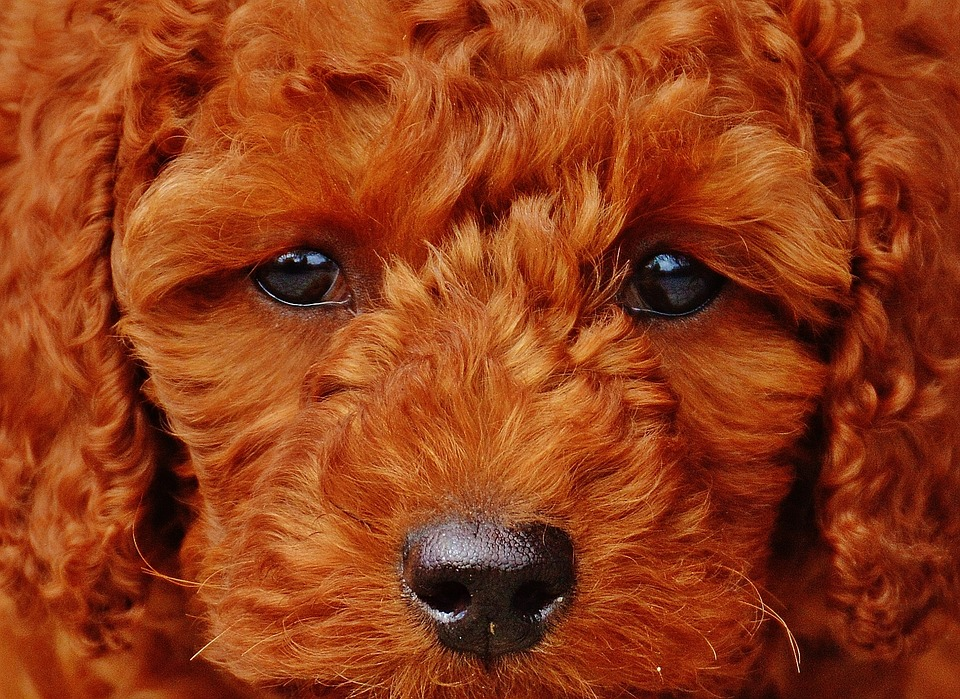 All about Poodle Sizes