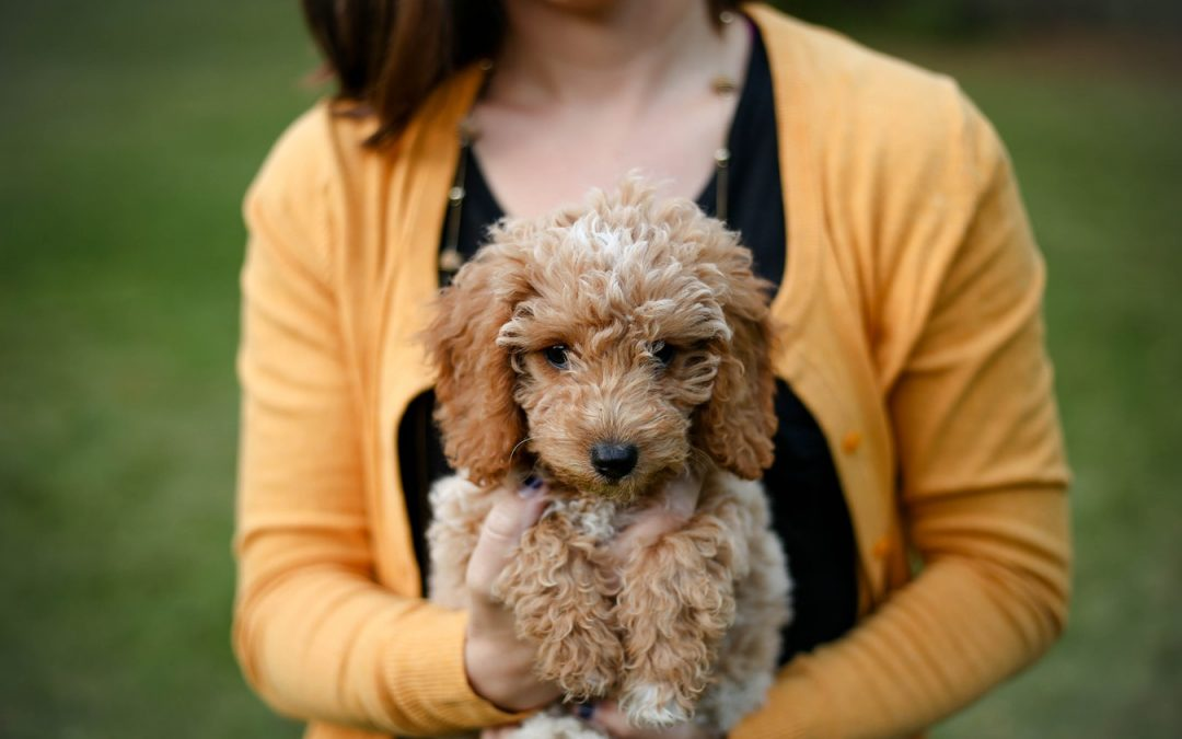 Breeding Poodles: What to Expect