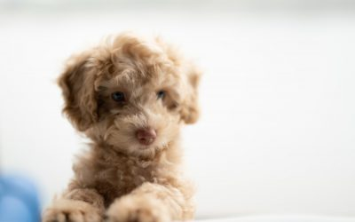 Dog Toys Your Poodle Will Love