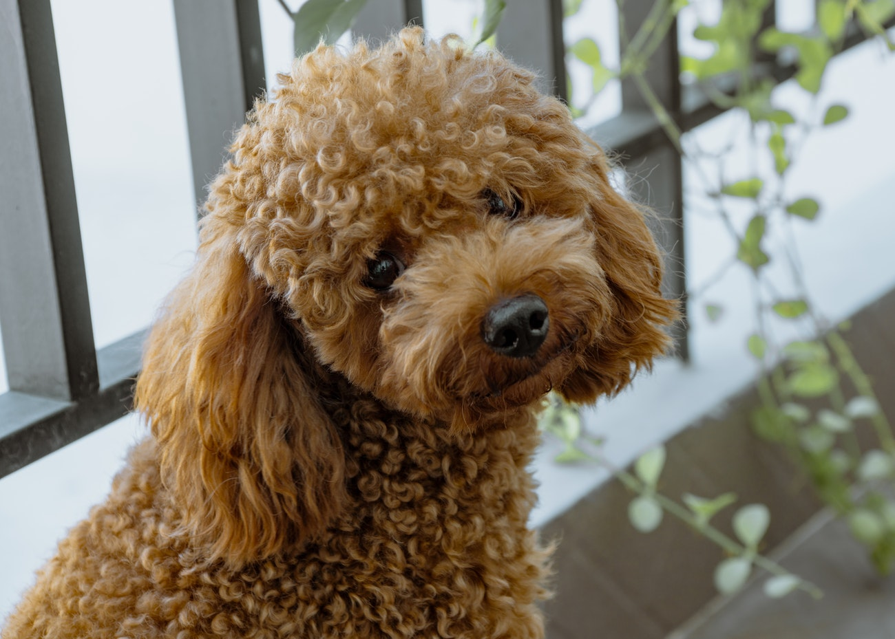 Does Your Poodle Need a Haircut?