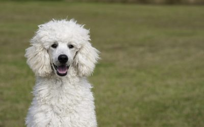 Health Risks for Poodles