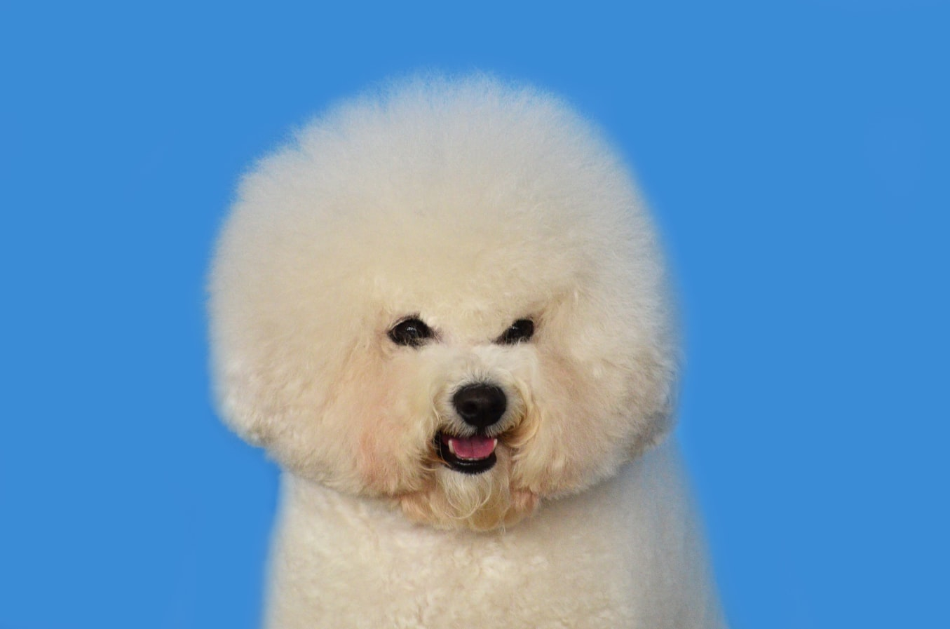 Training Your Poodle not to Bite