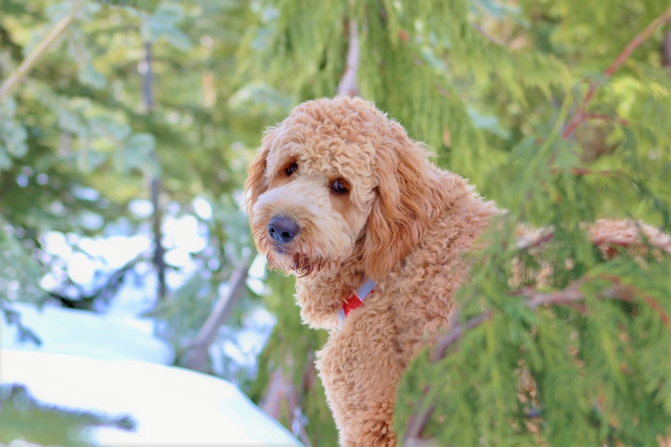 Training Royal Poodles for Hunting