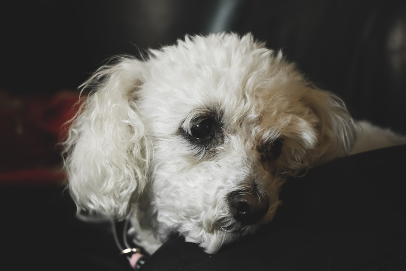 Remote Dog Cameras: Keeping an Eye on your Poodle