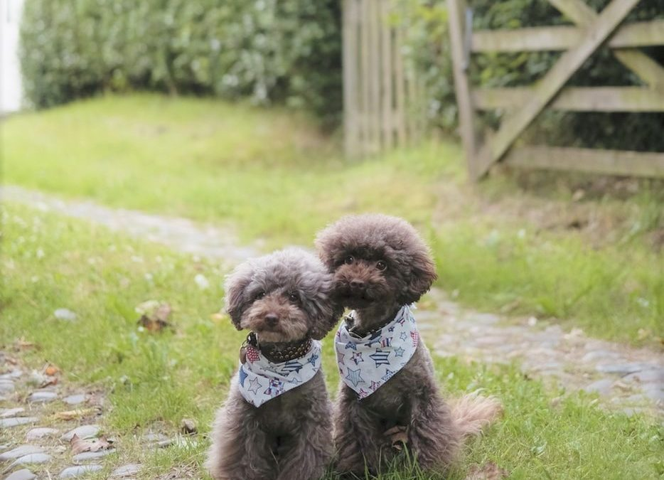 Vet Recommended Puppy Food for All Size Poodles
