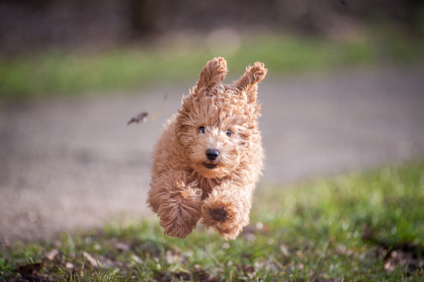 Daily Exercise for Toy Poodles