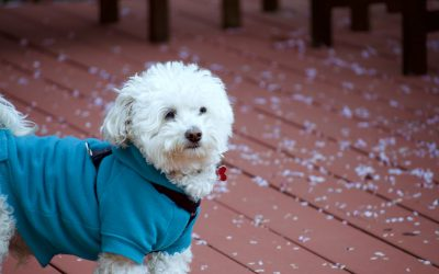 Poodle Raincoats