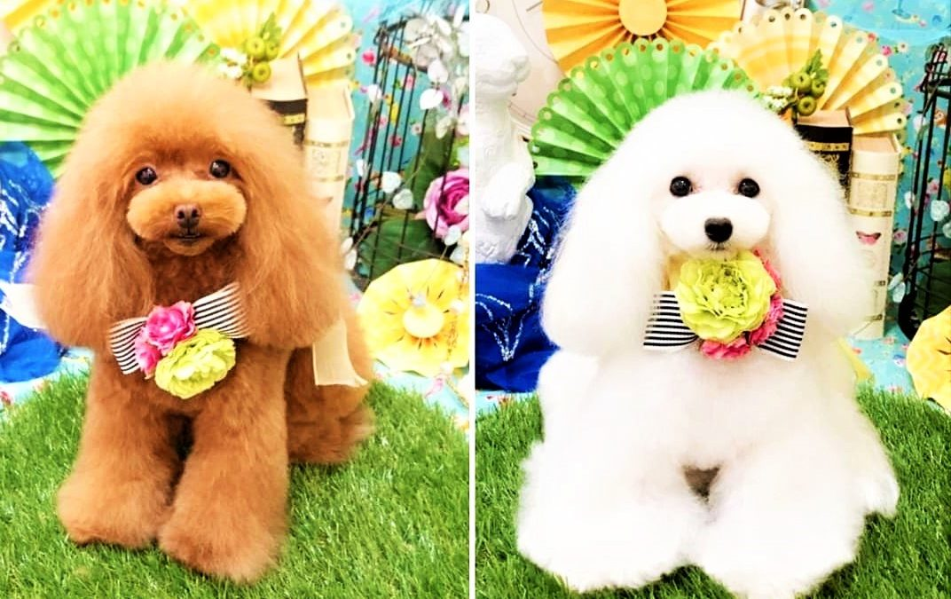 Poodle Colors: How Do They Get Them?