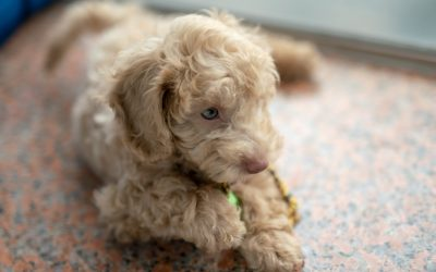 Poodle Litter Sizes