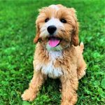 All About Labradoodles