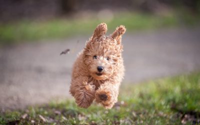 Best Fetch Balls for Poodles