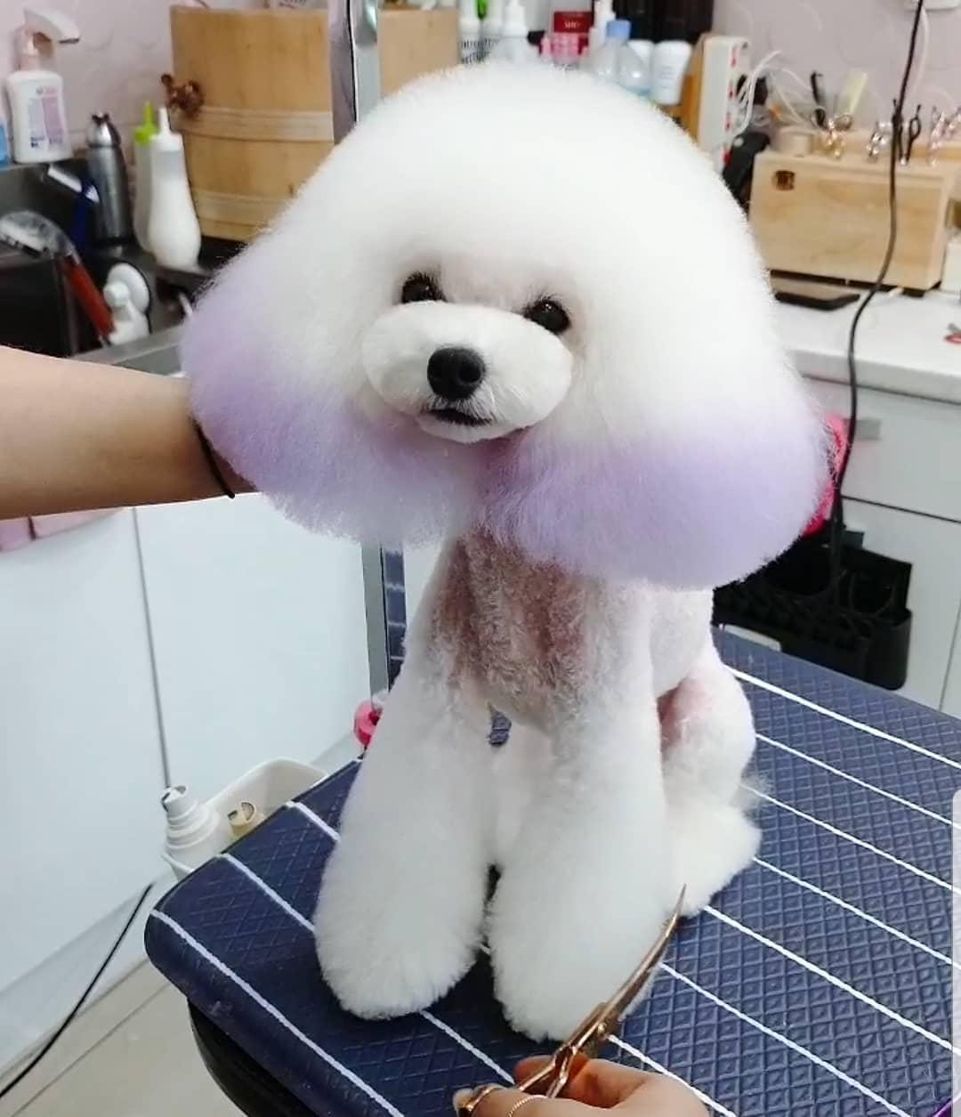 Best Grooming Products for Poodles