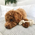 Best Pulling Toys for Toy Poodles