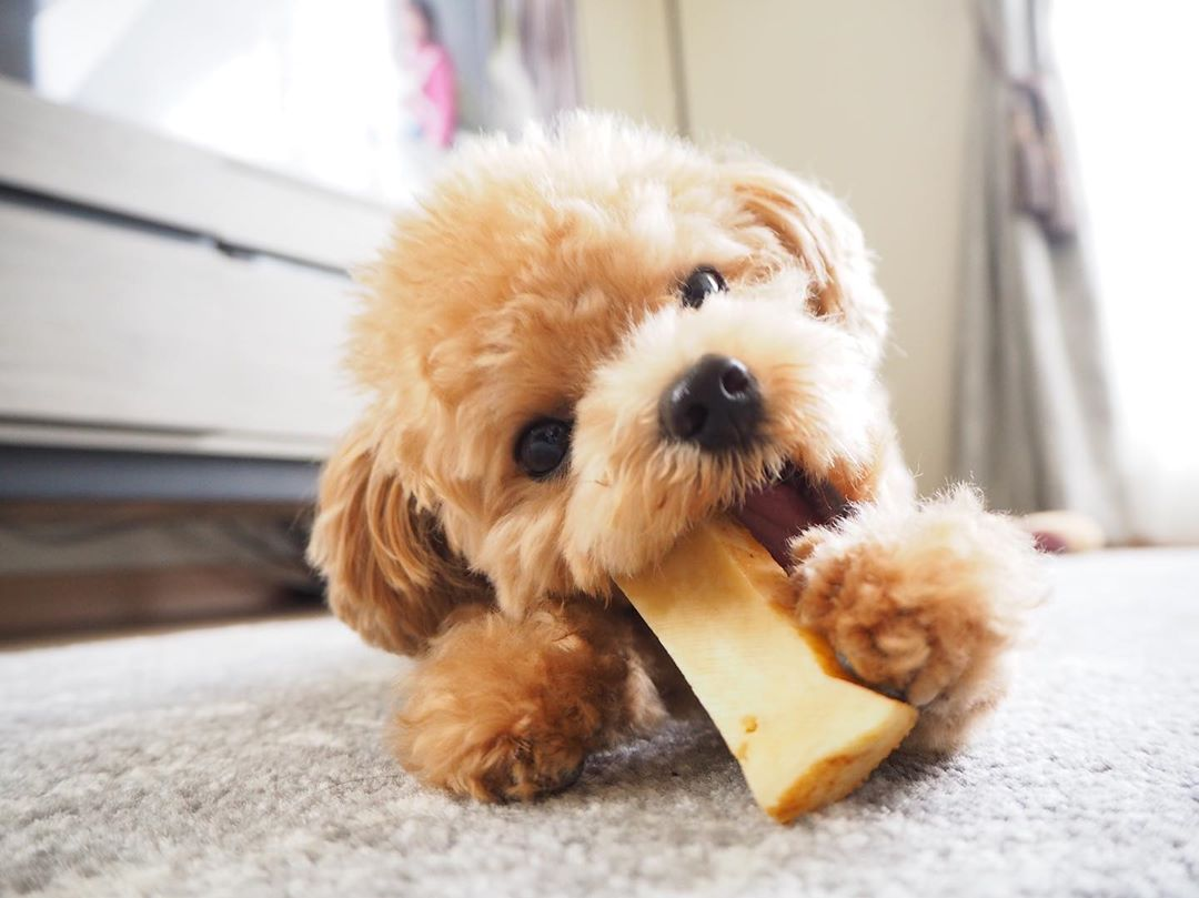 Best Toys for Poodle Puppies When Teething