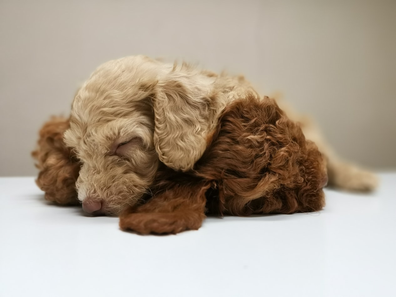 Best Toys for Toy Poodles