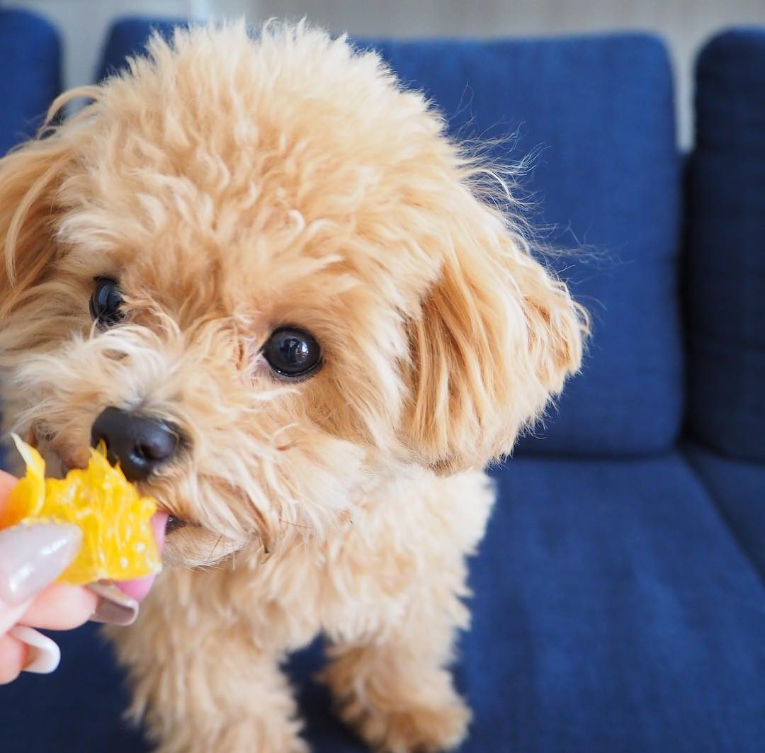 Best Treats for Miniature Poodles