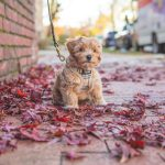 Collar vs. Harness What Is Better for Poodles